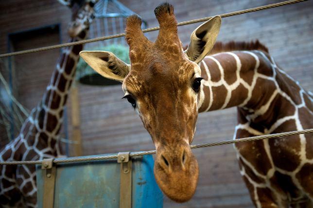 Att göra en giraff